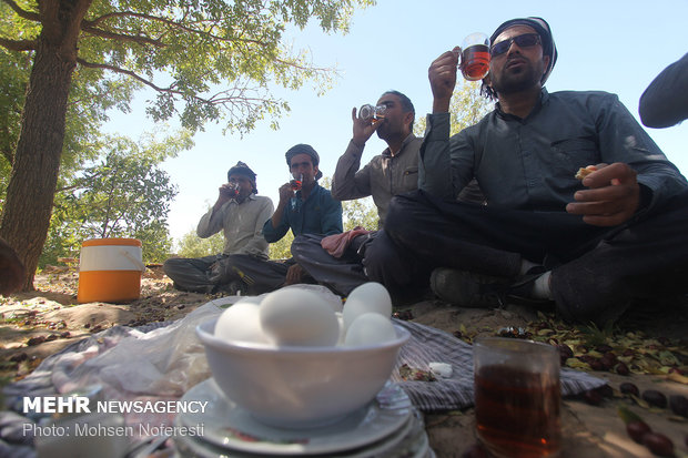 """قطف العناب في """"بيرجند"""" شرق ايران"""