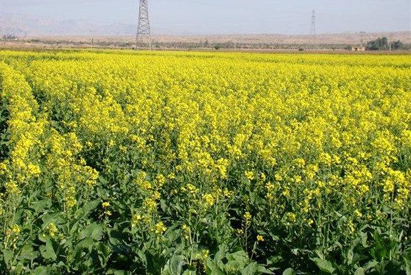 ۸۲ تن کلزا از کشاورزان زنجانی خریداری شده است
