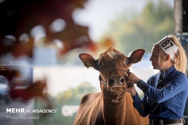 مسابقه بزرگترین گاو انگلیس