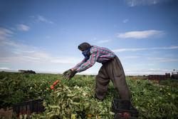 نگرانی گوجهکاران از اشباع بازار/ زمینه صادرات تسهیل شود