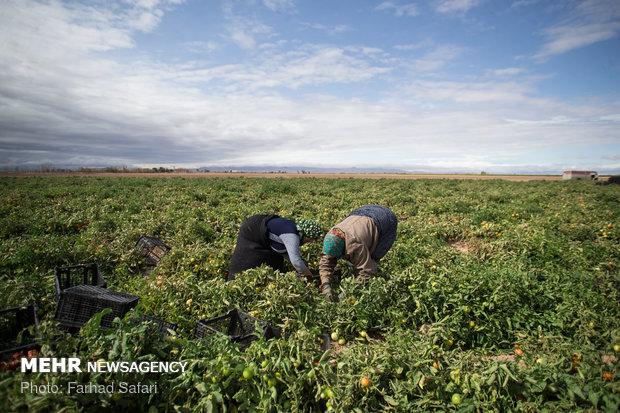 کشاورزان استان بوشهر مراقب محصولات خود در روزهای بارانی باشند