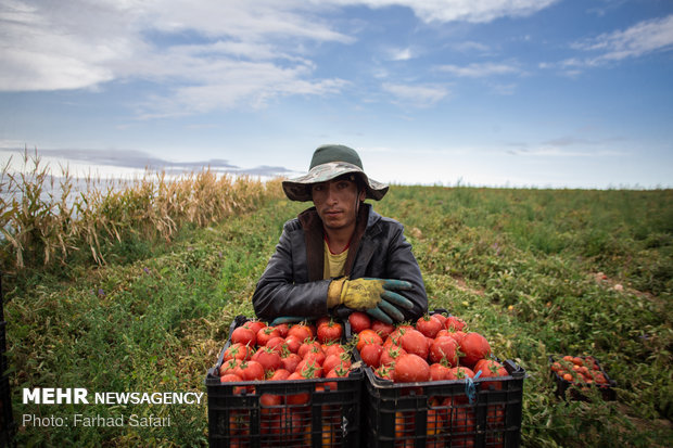 Harvesting tomatoes in Qazvin plain