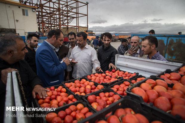 جني الطماطم في مزارع مدينة قزوين الايرانية