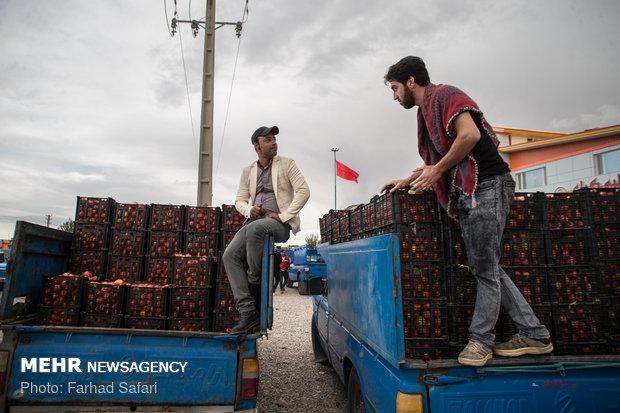 برداشت گوجه فرنگي در دشت قزوين