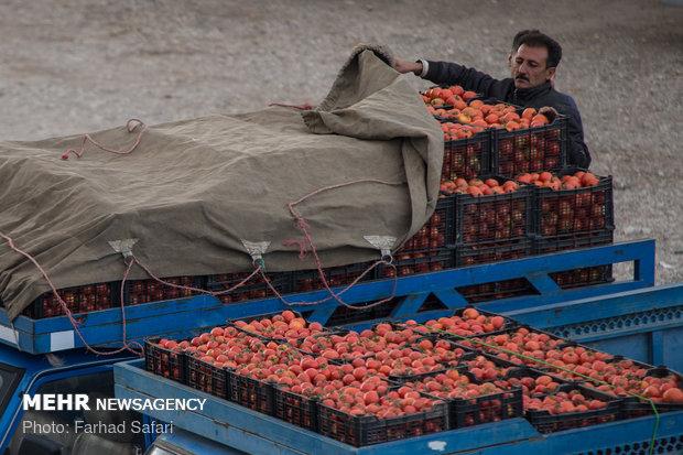 Kazvin'de domates hasadı başladı
