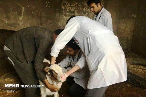 درمان رایگان دام های سیل زده خوزستان
