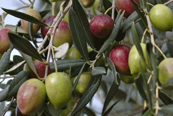 پیش بینی تولید ۹۰ هزار تن دانه زیتون/واردات همچنان ممنوع است