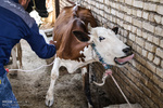 کمبود واکسن تب برفکی در آذربایجانشرقی وجود ندارد