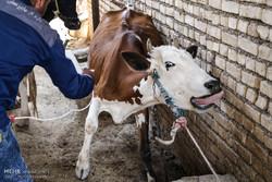 دامداران دامهای خود را علیه بیماری تب برفکی واکسینه کنند