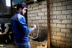 واکسیناسیون ۴۹ هزار رأس دام سنگین علیه تب برفکی در قزوین