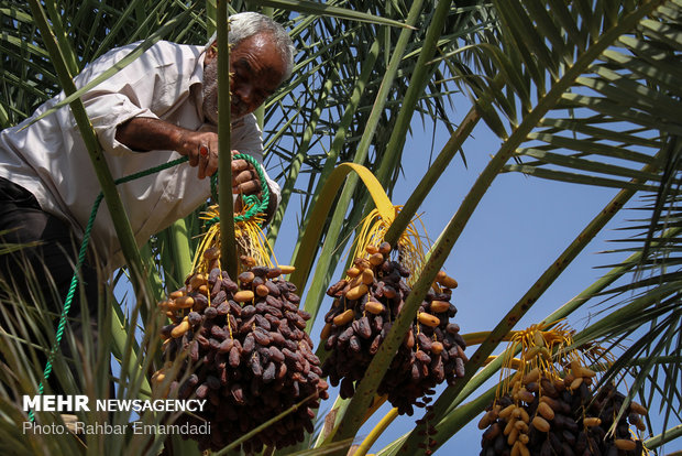 Employment to boom in Hajiabad with start of harvesting 'Piarom' date