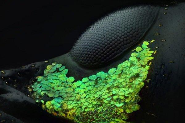 برترین عکسها در یک رقابت علمی/ عکاسی از چشم سوسک برنده شد