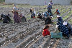 آغاز کشت صیفی و سبزی در مزارع کشاورزی هشت بندی هرمزگان