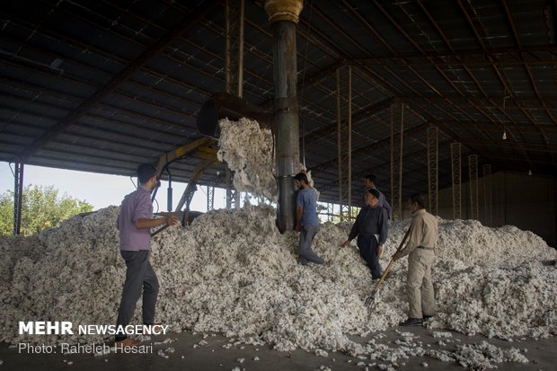 Harvesting cotton ball in Golestan province