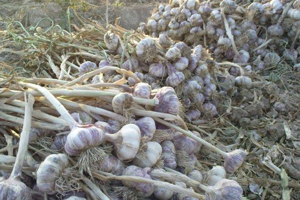 سیرهایی که روی دست کشاورزان ماند