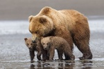 VIDEO: Brown bear, 2 cubs spotted in Fars province