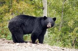 «رامبو»خرس سیاه باغ وحش شیراز در اثر مارگزیدگی تلف شد