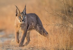 Rare hunter Caracal killed in car crash