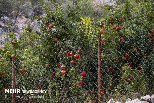 Harvesting pomegranates in Hawraman