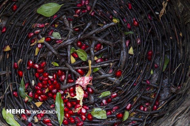 İran'ın Hewraman bölgesinde nar hasadı başladı