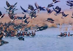 سرشماری زمستانی پرندگان آبزی و کنار آبزی مهاجر در همدان