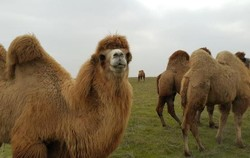 Two-hump camels native to Ardebil province
