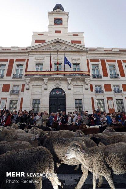 رژه گوسفندان در خیابان های مادرید