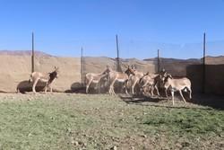 مرکز تکثیر و پرورش گورخر درپارک ملی کویر راهاندازی میشود