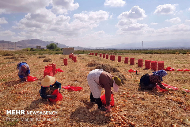 Onion harvest in NE Iran