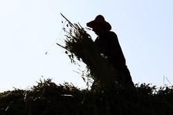 "حصاد السمسم بمزارع ""لارستان"" جنوب غربي ايران / صور"