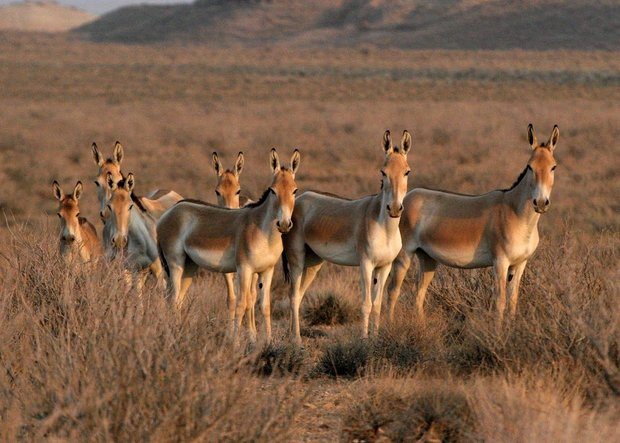 DoE to transfer 15 Persian onagers to Kavir National Park