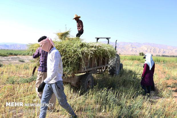 """حصاد السمسم بمزارع """"لارستان"""" جنوب غربي ايران"""