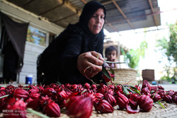 الشاي الاحمر في مزارع الأهواز / صور