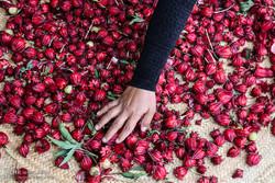 Harvesting Roselle flowers in SW Iran