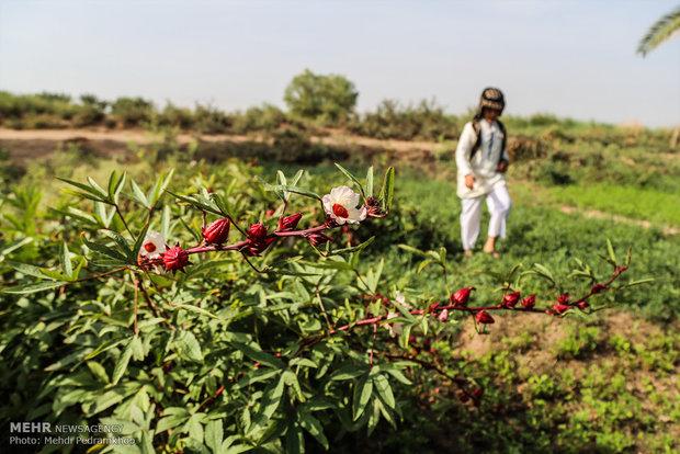 احیای کاشت چای تُرش در روستای علــــــــــوه اهواز