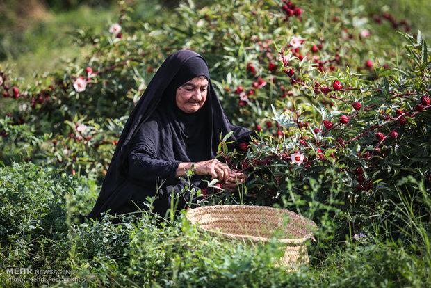 الشاي الاحمر في مزارع أهواز