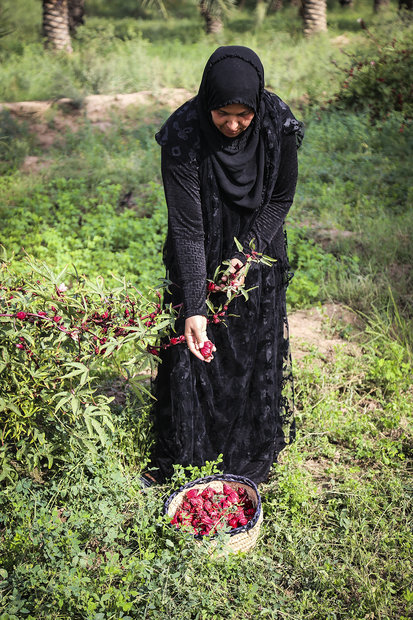 Harvesting Roselle flower in SW Iran