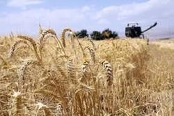 افزایش ۴ برابری تولید گندم در بوشهر/ ۱۴۰ هزار تن برداشت میشود