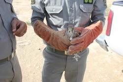 رهاسازی ۳ دلیجه و ۴ قمری در طبیعت بوشهر