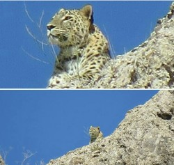 Leopard seen for 3rd time in 2 years in north-central Iran