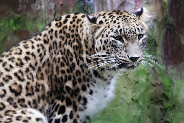 Persian leopard spotted in Alborz province