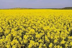پیشبینی خرید تضمینی ۶ هزارتن دانه های روغنی طی سال جاری در همدان
