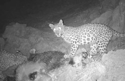 Cameras capture 3 Persian leopards in Khuzestan