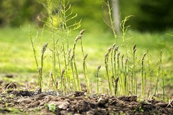 کشت ۱۵۰ هکتار گیاه مقاوم به شوری در اراضی کشور