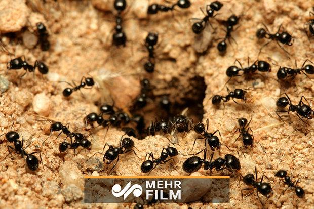 VIDEO: How do ants prevent traffic jam?