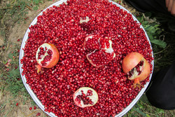 Pomegranate harvest in Lorestan prov.