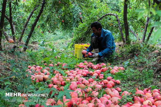Pomegranate harvest in Lorestan prov.