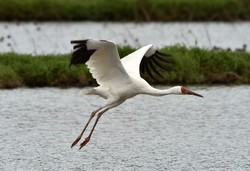 Will the lonely Siberian crane 'Omid' come back to Iran this year?