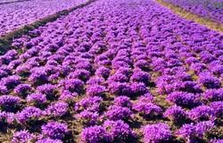 نخستین جشنواره «عکس زعفران» در گلستان برگزار می شود