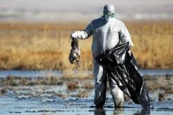 پاسکاری محیط زیست و دامپزشکی به نفع شکارچیان/ آنفلوانزا هم آمد و مجوزها لغو نشد